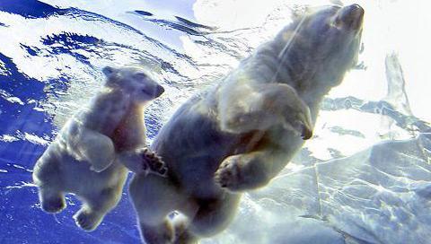 Polarbare.jpg